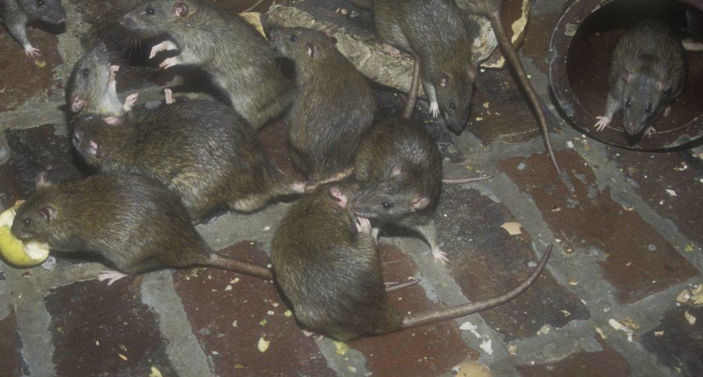 уничтожение крыс в Жуковском